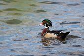 Male Wood Duck Swimming