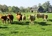 Beautiful Cows And Bulls On A Green Field