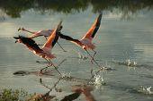 Galapagos Flamingoes in Santa Cruz Islands