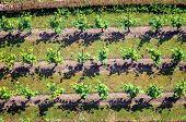 Landscape With Green Vineyards