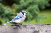 Blue Jay On Wood Fence