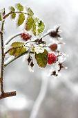 image of dog-rose  - Branch of frozen dog - JPG