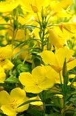 picture of primrose  - Evening primrose flowers on a flower bed - JPG