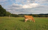 Cow Grazing On A Summer Pasture