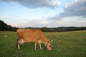 Jersey Cows Grazing On A Summer Pasture