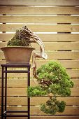picture of bonsai  - old bonsai tree in a flower pot grows downwards - JPG