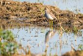 White tailed lapwing, Sultanpur park