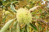 green chestnut on the tree