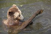 Brown bear playing in water