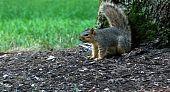 Squirrel Defending Tree