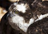 pic of osprey  - close up portrait of an osprey making eye contact