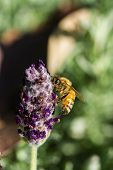 Little Bee On Flower