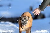 Boxer Dog Running Towards Human Hand