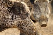 picture of tusks  - close up of large wild boar male with big tusks  - JPG