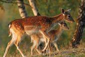 Fallow Deer Family