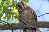 Funny Young Owl Looking At Camera