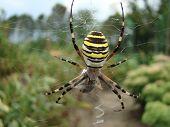 Spider-wasp