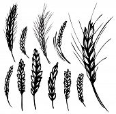 vector illustration of wheat and rye