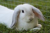 White Lop Rabbit