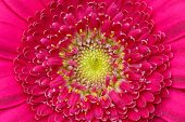 Macro Detail Of Of A Pink Gerber Flower