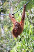 image of orangutan  - Orangutan - JPG