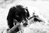 pic of nose drops  - Black and white portrait of a playful Springer Spaniel pet dog basking on vibrant green grass in the sun light - JPG