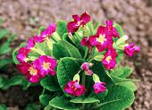 picture of primrose  - Red primrose flowers in the garden in the spring - JPG