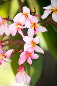 foto of frangipani  - 