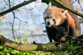 stock photo of zoo  - A red panda eating leaves in a tree at a zoo in England - JPG