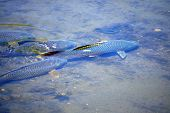 pic of illinois  - Carp fish swimming in a shallow culvert in Joliet - JPG