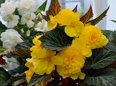 foto of buttercup  - Yellow and white persian buttercup  - JPG