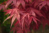 Ahorn-Blätter