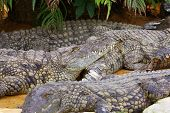 stock photo of crocodile  - Big Crocodiles Resting In A Crocodiles Farm - JPG