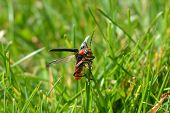 stock photo of longhorn  - Red longhorn beetle on a grass tip with his wings spread.