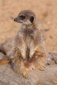 picture of meerkats  - photo of a cute little meerkat sitting on a log - JPG