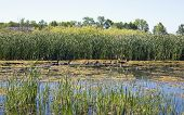 Cattails - Prime Wildlife Habitat