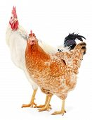 stock photo of roosters  - Hen and rooster isolated on white studio shot - JPG