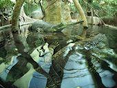 picture of crocodilian  - Indian crocodile gavialis gangeticus in zoo an artificial pond - JPG