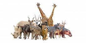 picture of gang  - group of africa animals isolated on white background - JPG