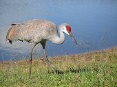 Sandhill Crane By Pond