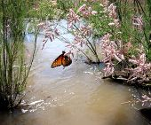 Monarch Butterfly On Salt Cedar Bloom