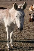 image of jack-ass  - A donkey on a farm - JPG