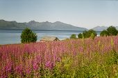 Pink Flowers And Norwegian Fjord