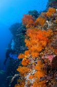 Diver And Gorgonia Coral Indonesia Sulawesi