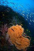 Coral Fan Indonesia Sulawesi