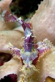 Scorpion Fish On Reef.  Indonesia Sulawesi