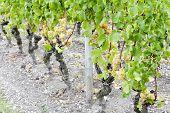 white grape in vineyard, Sauternes Region, Aquitaine, France