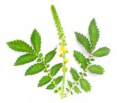 The Common agrimony (Agrimonia eupatoria) used as a cure for male impotence, disorders of the kidneys, liver and bladder, insomnia, and for irritable bowel syndrome.