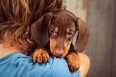 dog puppy breed dachshund on the shoulder of a boy, a teenager and his pet sad poster