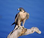 7945Peregrine Falcon